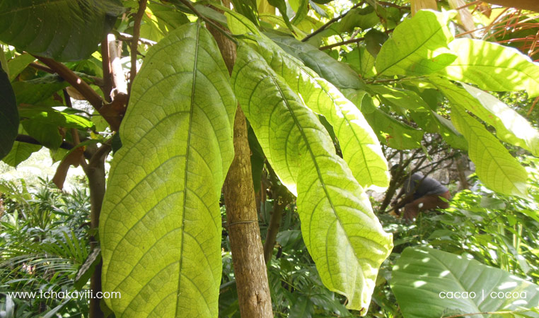 cocoa tree leaves | feuilles de cacao