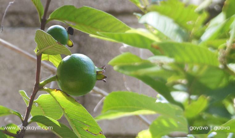 guava-haiti