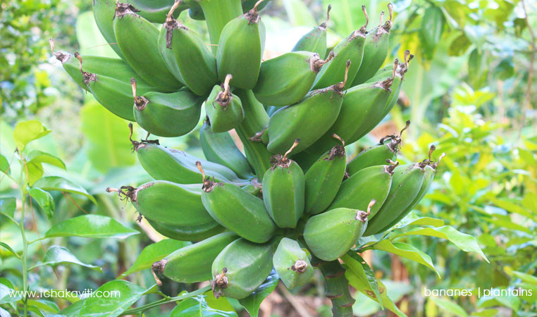 plantains-haiti-bananes