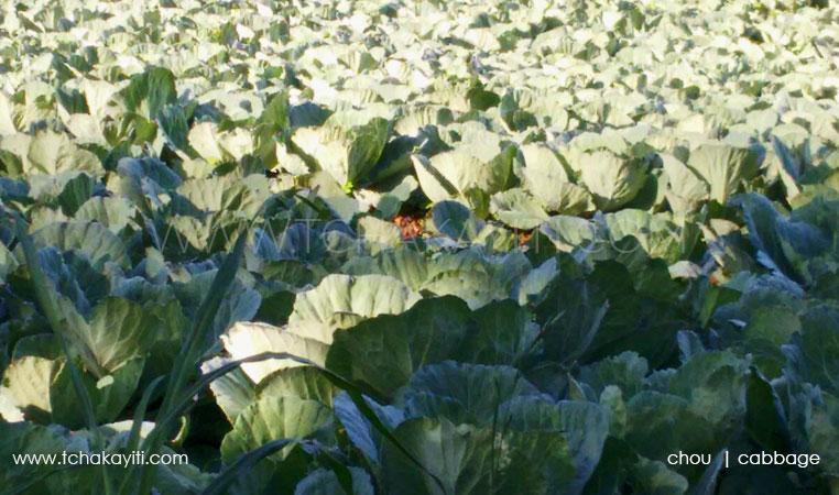 cabbage-haiti-chou