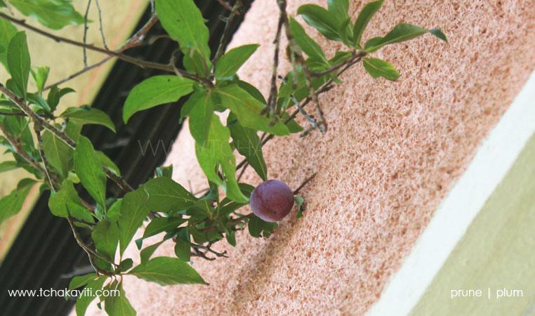 plum-tree-haiti-prune-prunier