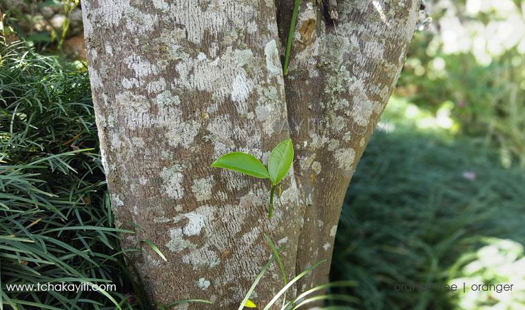 Orange Tree Haiti